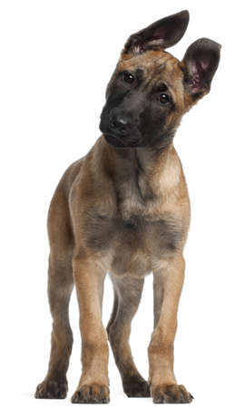 Belgian Shepherd puppy, 3 months old, standing in front of white background photo