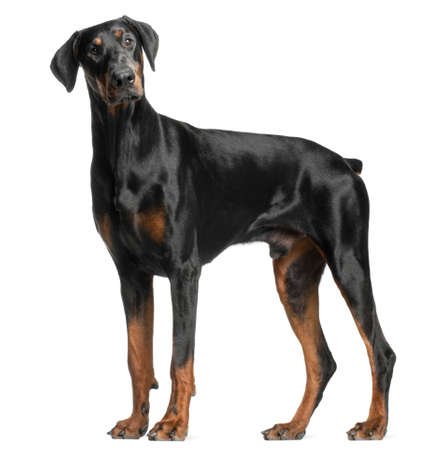 Doberman Pinscher, 13 months old, standing in front of white background photo