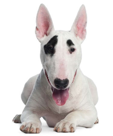 Bull Terrier puppy, 6 months old, lying in front of white background Stock Photo - 9750485