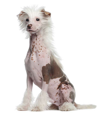 Chinese Crested 4 Months Chinese Crested dog  4 months