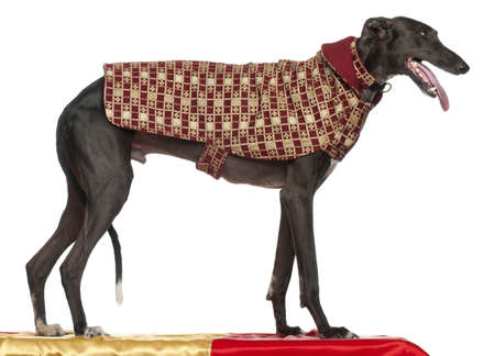 Galgo Espanol, 3 years old, standing on table and wearing coat in front of white background Stock Photo - 9750609