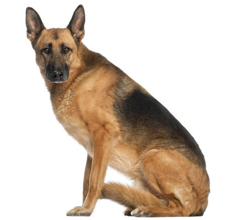 German Shepherd Dog, 8 and a half years old, sitting in front of white background photo
