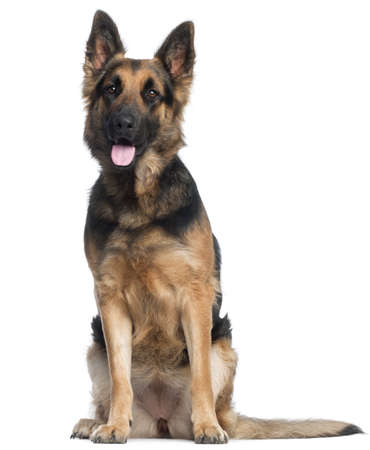 German Shepherd Dog, 2 years old, sitting in front of white background photo