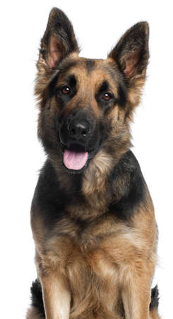 Close-up of German Shepherd Dog, 2 years old, in front of white background photo