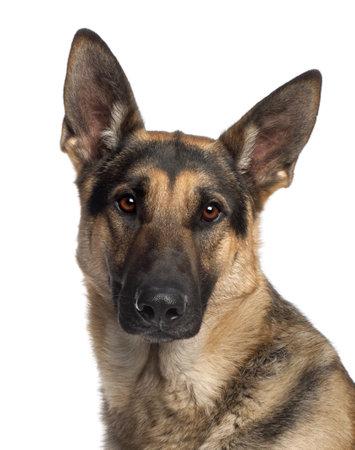 furry animals: Close-up di cane da pastore tedesco, 2 anni e mezzo vecchio, di fronte a sfondo bianco Archivio Fotografico