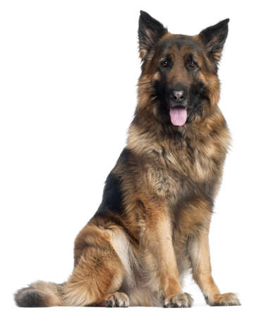 German Shepherd Dog, 4 years old, sitting in front of white background Stock Photo - 9750281