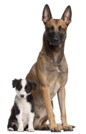 Belgian Shepherd Dog, 2 years old, and Border Collie puppy, 3 months old, sitting in front of white background photo
