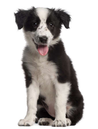 Border Collie puppy, 3 months old, sitting in front of white background photo