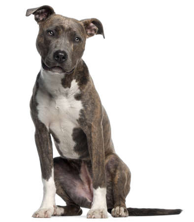 american staffordshire terrier: American Staffordshire Terrier, 8 months old, sitting in front of white background