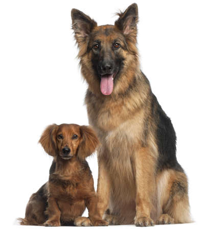 Dachshund, 8 years old, and German Shepherd Dog, 2 and a half years old, sitting in front of white background photo