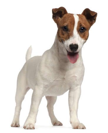jack russell: Jack Russell Terrier puppy, 6 months old, standing in front of white background