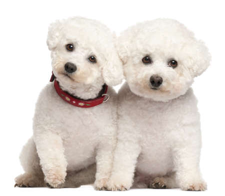 bichon: Bichon Frisé, 9 and 7 years old, in front of white background