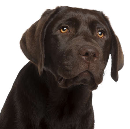 one dog: Close-up of Labrador Retriever puppy, 5 months old, in front of white background Stock Photo