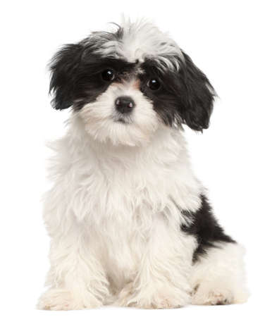 havanese: Havanese puppy, 12 weeks old, sitting in front of white background Stock Photo