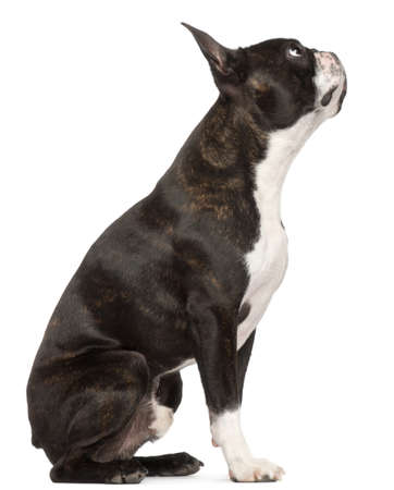 black dog: Boston Terrier, 1 year old, sitting in front of white background