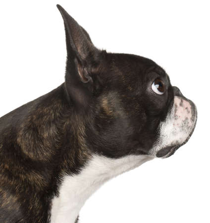 Close-up of Boston Terrier, 1 year old, in front of white background Stock Photo - 9749805