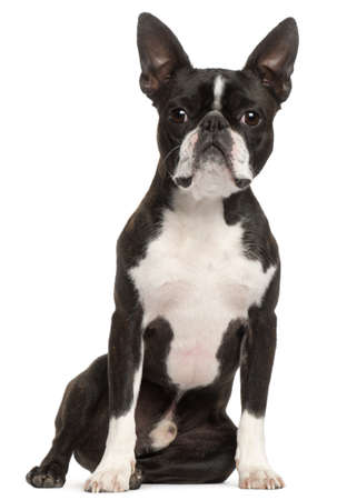 boston terrier: Boston Terrier, 1 year old, sitting in front of white background