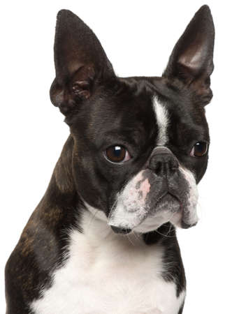 Close-up of Boston Terrier, 1 year old, in front of white background photo