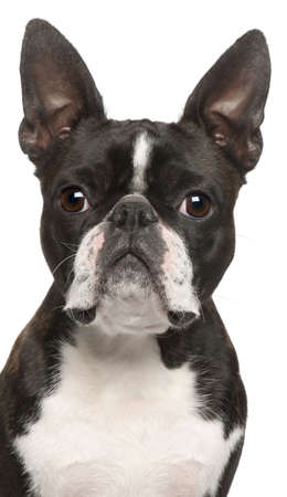 1 year old: Close-up of Boston Terrier, 1 year old, in front of white background Stock Photo