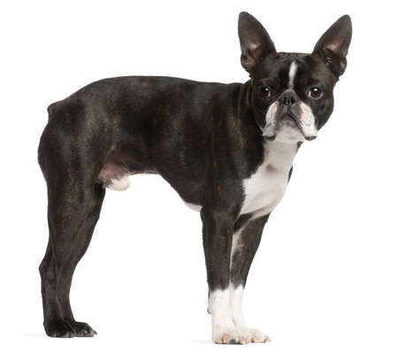 boston terrier: Boston Terrier, 1 year old, standing in front of white background
