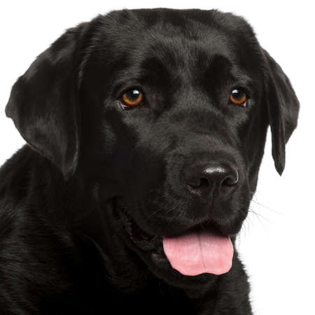 black labrador: Close-up of Labrador Retriever, 3 years old, in front of white background