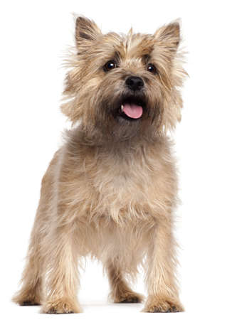 dog breeds: Cairn Terrier, 4 years old, standing in front of white background