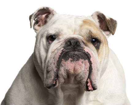 big head: Close-up of English Bulldog, 6 years old, in front of white background Stock Photo