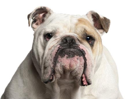 grosse tete: Gros plan sur English Bulldog, 6 ans, en face de fond blanc Banque d'images