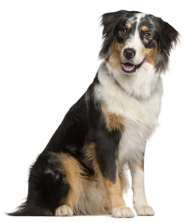 Border Collie, 9 months old, sitting in front of white background photo