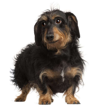 Dachshund, 9 years old, standing in front of white background photo