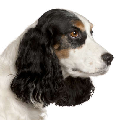 Close-up of English Cocker Spaniel, 6 years old, in front of white background Stock Photo - 9750342