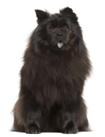 Chow Chow, 2 years old, sitting in front of white background photo