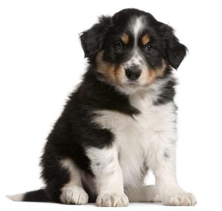 Border Collie puppy, 6 weeks old, sitting in front of white background Stock Photo - 9749982