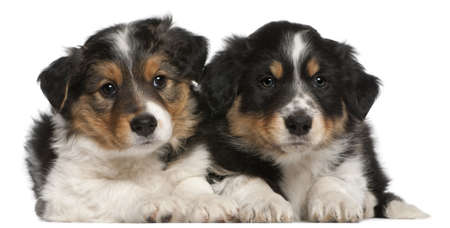 Border Collie puppies, 6 weeks old, lying in front of white background photo