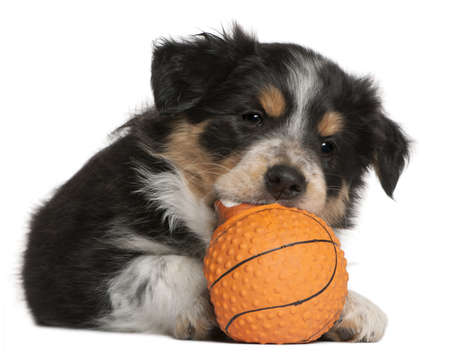 Border Collie puppy playing with toy basketball, 6 weeks old, in front of white background photo