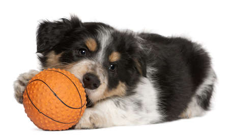 border collie puppy: Border Collie puppy playing with toy basketball, 6 weeks old, in front of white background