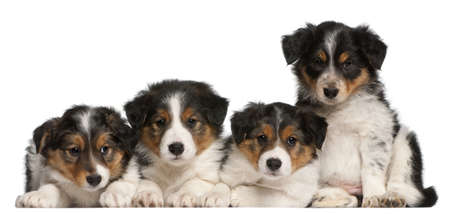 Border Collie puppies, 6 weeks old, in front of white background photo