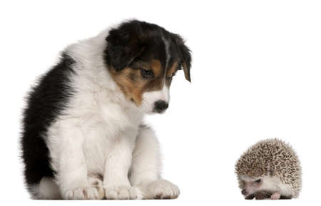 border collie puppy: Border Collie puppy, 6 weeks old, playing with a hedgehog, 6 months old, in front of white background