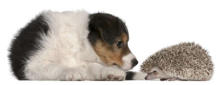 Border Collie puppy, 6 weeks old, playing with a hedgehog, 6 months old, in front of white background photo