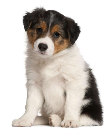 border collie puppy: Border Collie puppy, 6 weeks old, sitting in front of white background