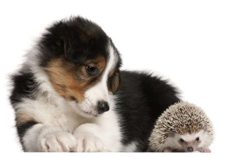 spiky: Border Collie puppy, 6 weeks old, playing with a hedgehog, 6 months old, in front of white background