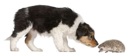 sniffing: Border Collie puppy, 6 weeks old, playing with a hedgehog, 6 months old, in front of white background