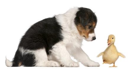 agachado: Border Collie cachorro, 6 semanas de edad, jugando con un patito, 1 semana antiguo, de fondo blanco Foto de archivo