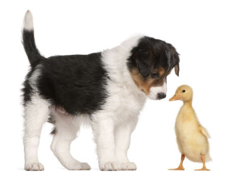 yellow duck: Border Collie puppy, 6 weeks old, playing with a duckling, 1 week old, in front of white background