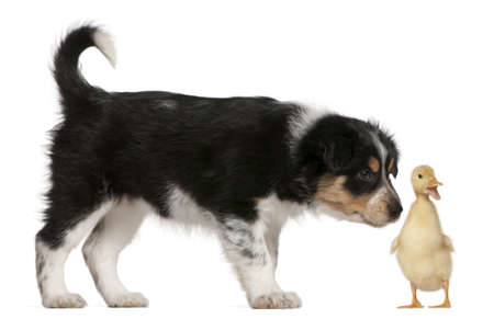 Border Collie puppy, 6 weeks old, playing with a duckling, 1 week old, in front of white background photo