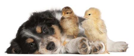 border collie puppy: Border Collie puppy, 6 weeks old, playing with chicks in front of white background Stock Photo