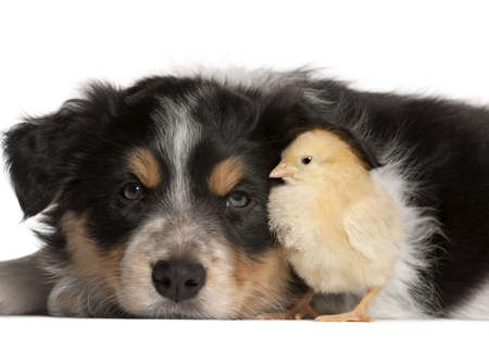 Border Collie puppy, 6 weeks old, playing with chick in front of white background Stock Photo - 9748955