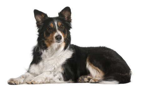 lying on side: Border Collie lying in front of white background Stock Photo