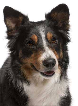 Close-up of Border Collie, in front of white background Stock Photo - 9748954