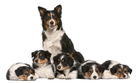 Female Border Collie, 3 years old, and Border Collie puppies, 6 weeks old, in front of white background photo
